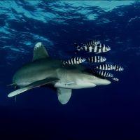 001-Carcharinus-Longimanus-острова-Бразерс-Красное-Море-Ноябрь-2014