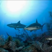 013-Carcharhinus-perezii,-Хардинес-де-Ла-Рена,-Куба,-Июнь-2005