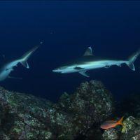 019-Carcharhinus-Albimarginatus