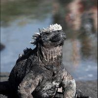 046-Морская-игуана-Галапагосы-июнь-2010
